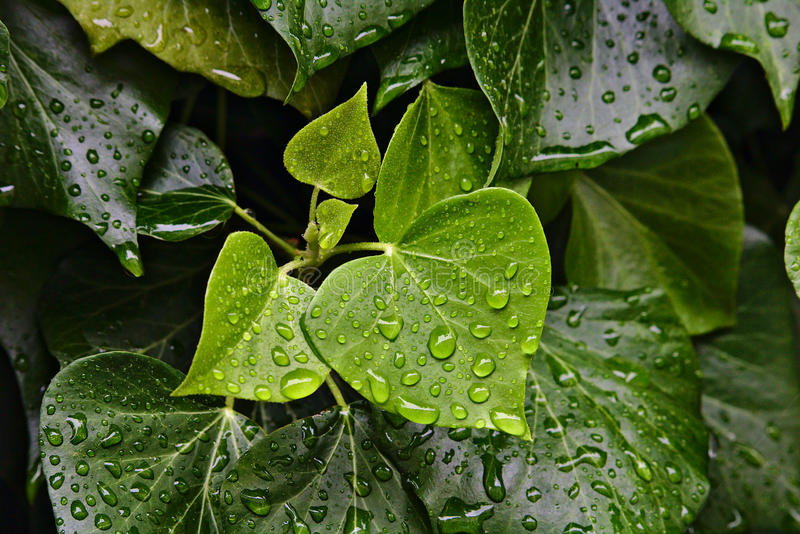 Rain drops beading on green leaves. Rain drops beading on bright and dark green leaves royalty free stock image
