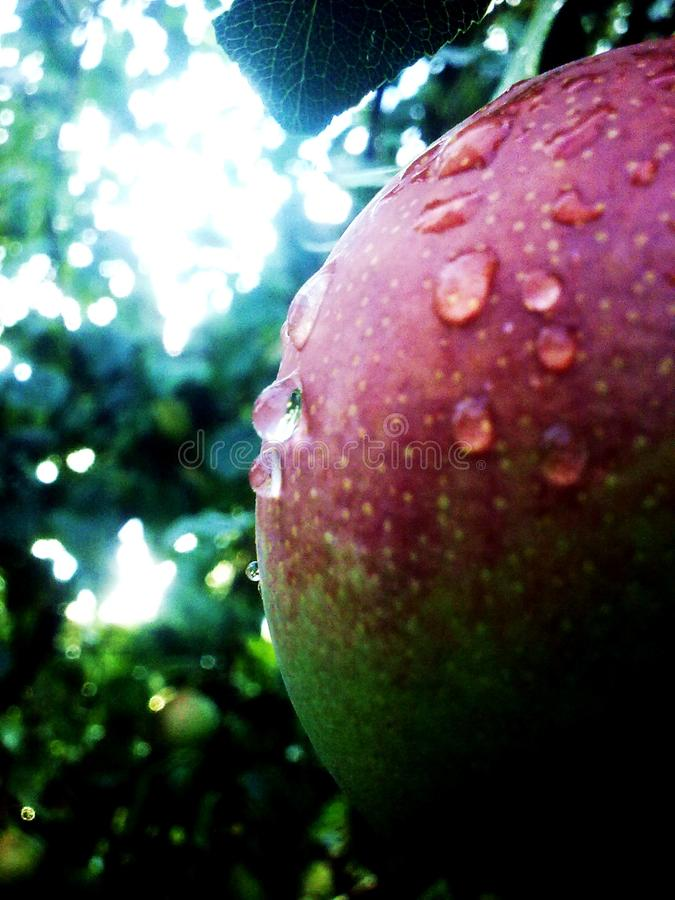 Rain drops closeup on a ripe fruit. Green royalty free stock images