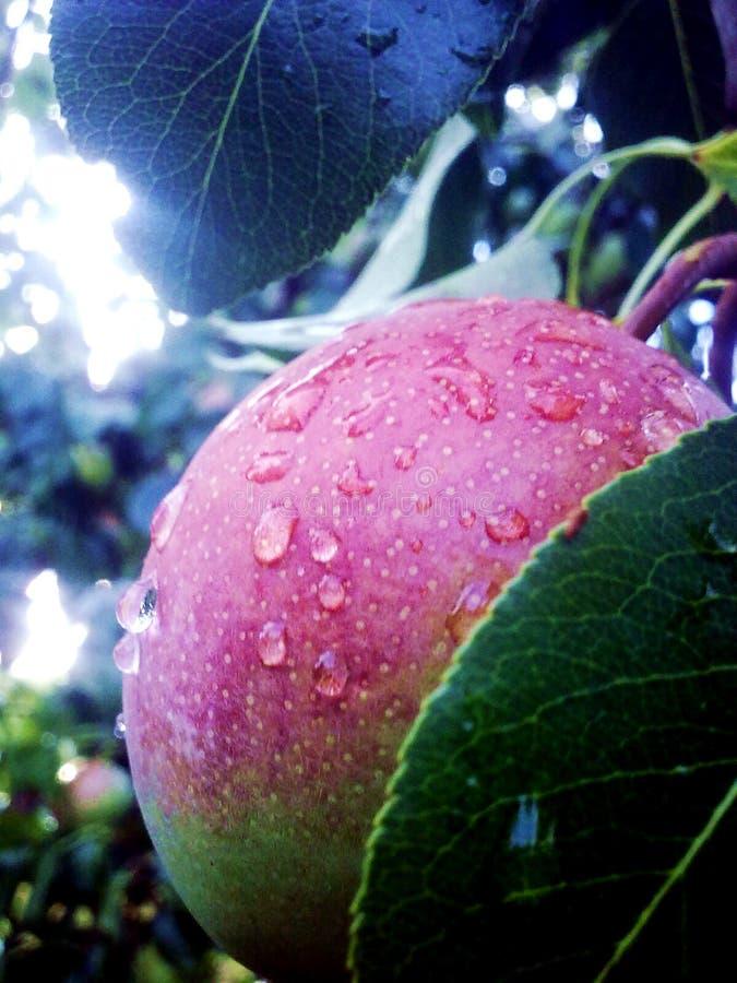 Rain drops closeup on a ripe fruit. Green stock photos