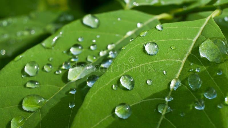 Rain Drops on. Custard leaves stock photo