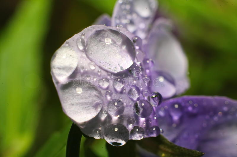 Rain drops of dew on the petal of a purple flower. Close up of a purple tulip in drops of water on a green background. a delicate flower with rain drops stock image