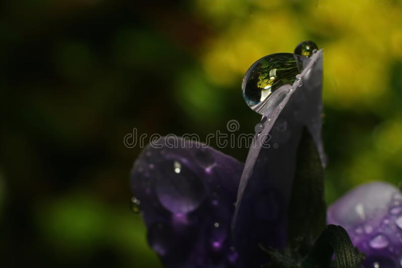 Rain drops of dew on the petal of a purple flower. Close up of a purple tulip in drops of water on a green background. a delicate flower with rain drops stock photos