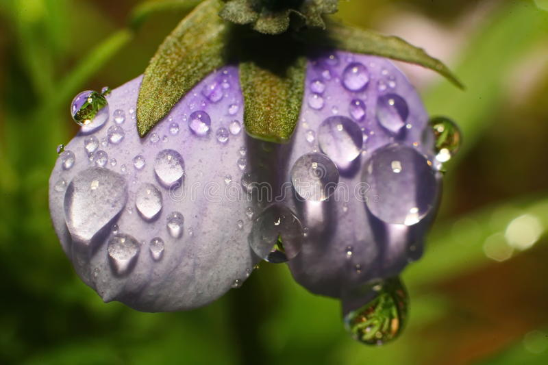Rain drops of dew on the petal of a purple flower. Close up of a purple tulip in drops of water on a green background. a delicate flower with rain drops royalty free stock photography