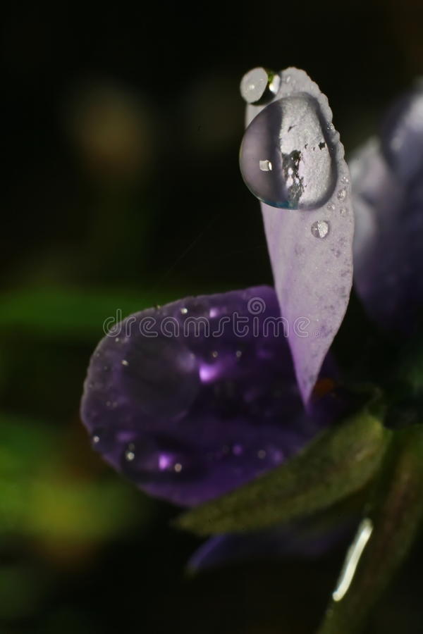 Rain drops of dew on the petal of a purple flower. Close up of a purple tulip in drops of water on a green background. a delicate flower with rain drops stock photo