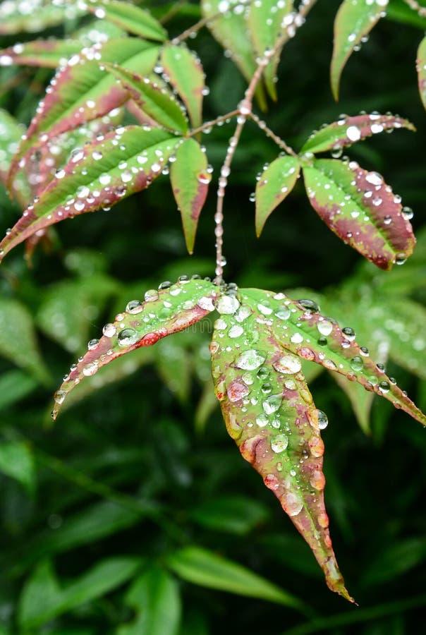 Rain Drops. Rain Drop on a leaves stock image