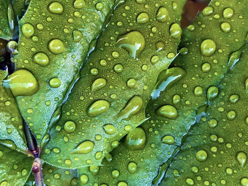 Rain drops or droplets of water on a green leaf stock images
