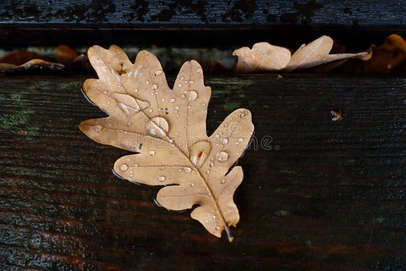 Rain drops on dry fallen oak leaf on wet wooden material. Autumn, fall illustration. Rainy weather stock photo