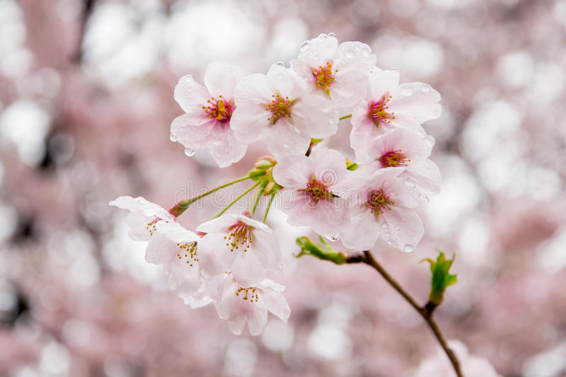 Rain drops on fully-bloomed cherry blossom petals at Gongendo Park in Satte,Saitama,Japan royalty free stock photos