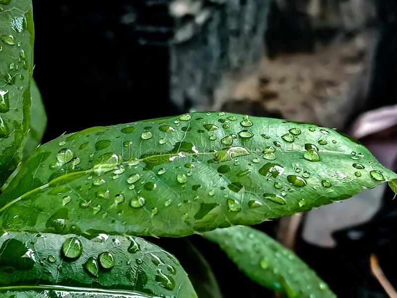 rain drops in the green leaves in the afternoon stock image