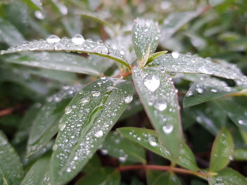 Rain drops on  green leaves. Growing, fresh, freshness, greenery, many, background, leaf, leaces, leaves royalty free stock photo