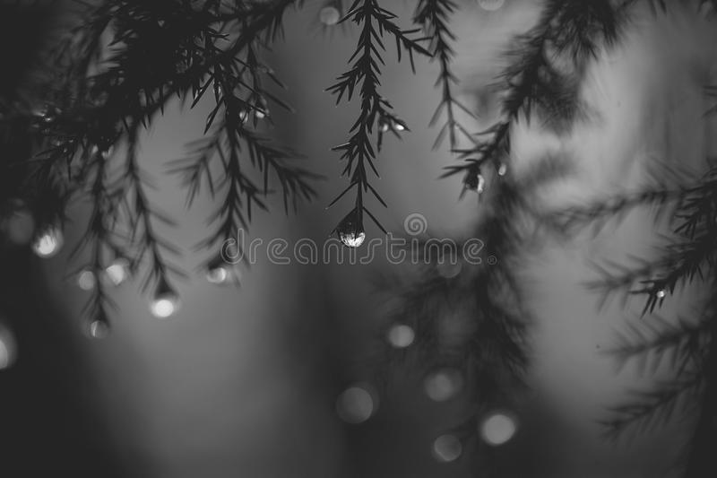 Rain drops hanging from a tree royalty free stock photos