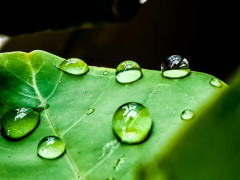 Rain drops on leaf stalks, rain drops, natural, outdoor. Nature, background, leaves, green, fresh, waterdrop, waterdrops, freshness, tropical, indonesian stock photography