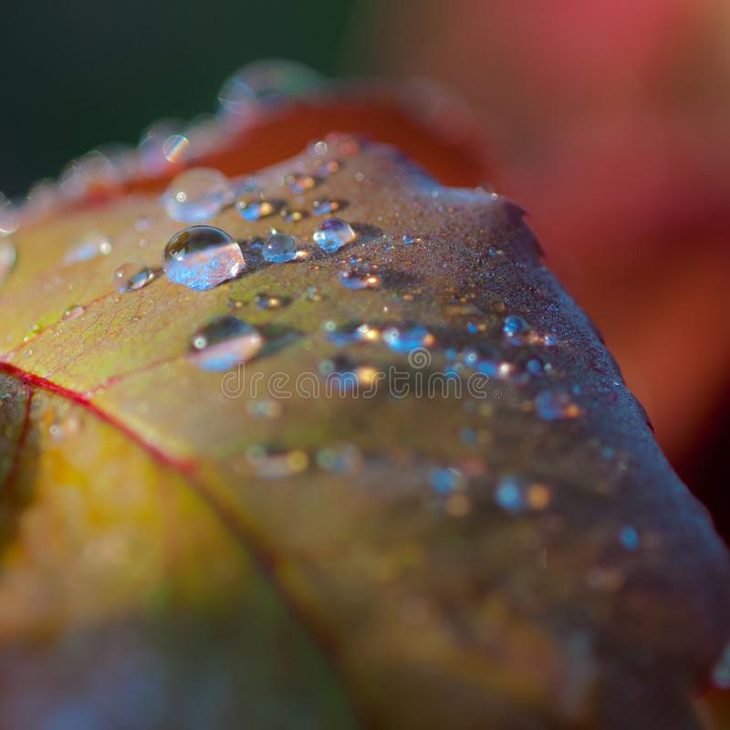 Rain drops on leaf surface. Individual drops of rain standing on a yellow leaf surface with red veins royalty free stock photo