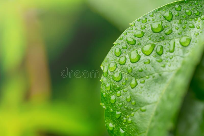 Rain drops on the leaves of wild grapes with isolated green back stock photography