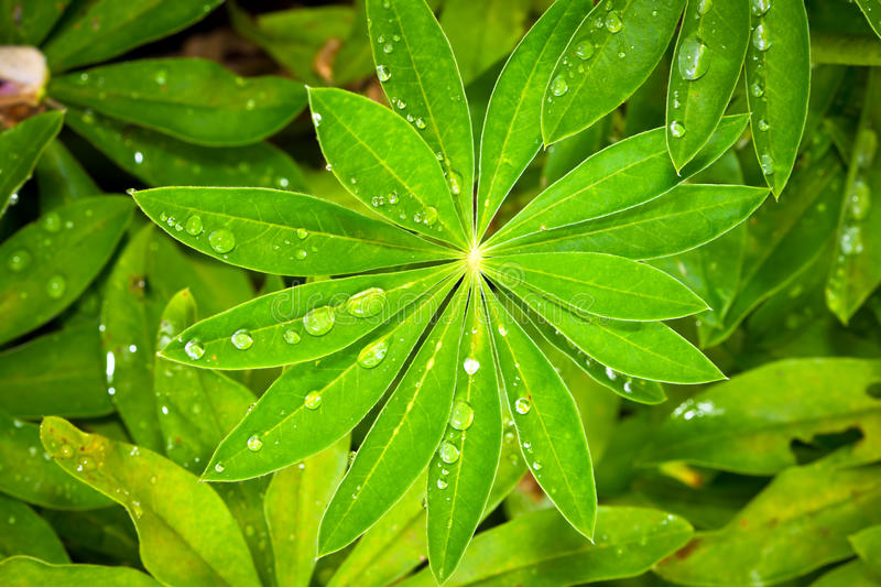 Rain drops on Lupine leaves. Closeup of lupine leafs and water drops stock images