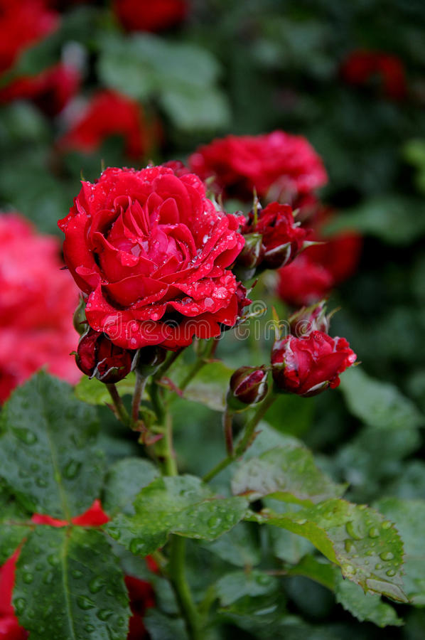 Free RAIN DROPS ON ROSE FLOWERS AND PLANTS Royalty Free Stock Photography - 95310857