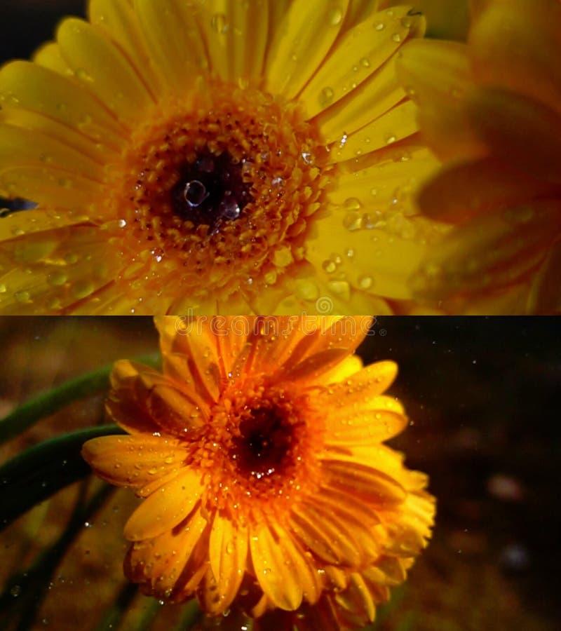 Rain drops on orange gerbera. Flower, nature macro detail stock photo