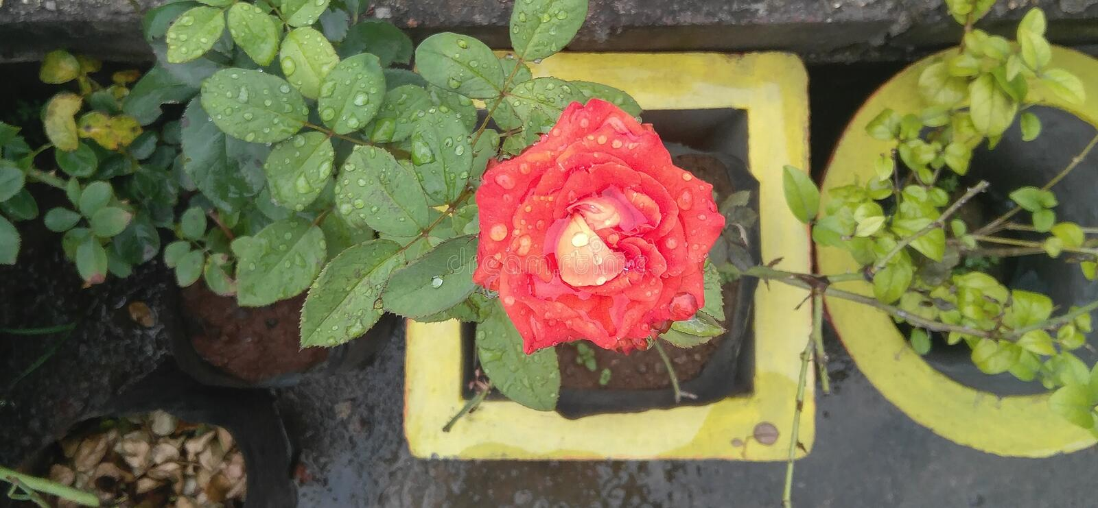 Rain drops in orange Pink moss rose flower plant growing in yellow flower pots in the garden isolated background royalty free stock images