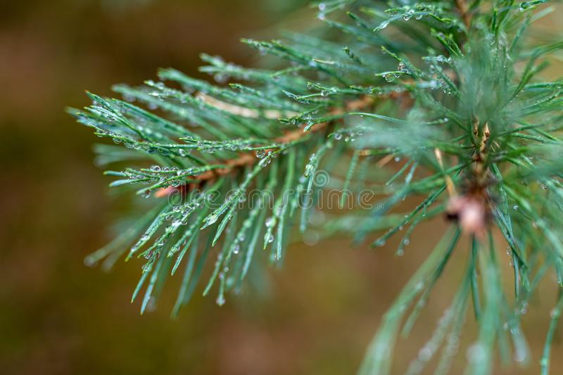 Rain drops on pine tree needles. Trees covered with rain drops in the forest royalty free stock images