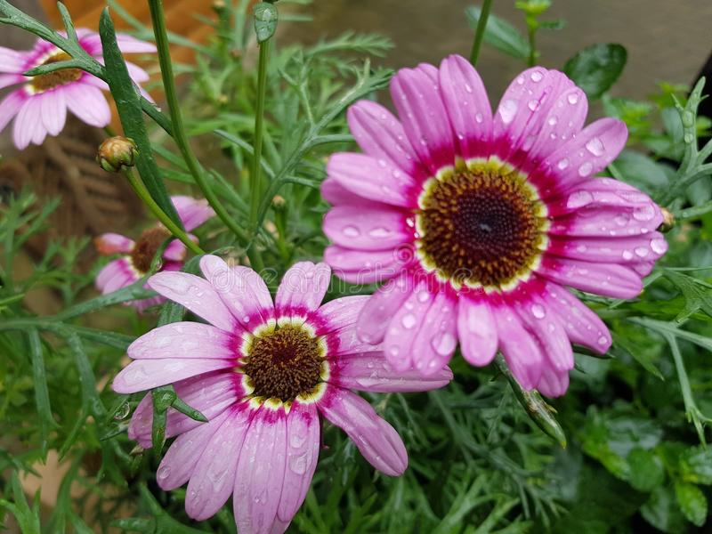 Rain drops on pink flowers. Plant, nature, leaf, petal, wet, freshness stock photo
