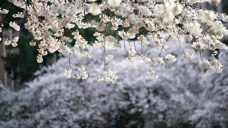 Rain Falling In The Background of Beautiful Hanging White Cherry Blossom On A Spring Morning At University of Washington royalty free stock photography