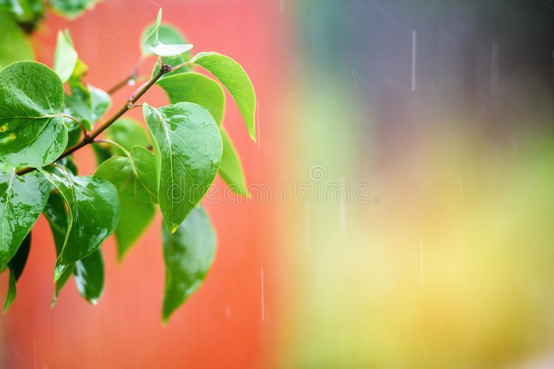 The rain falls on the branches of plants.  stock photo