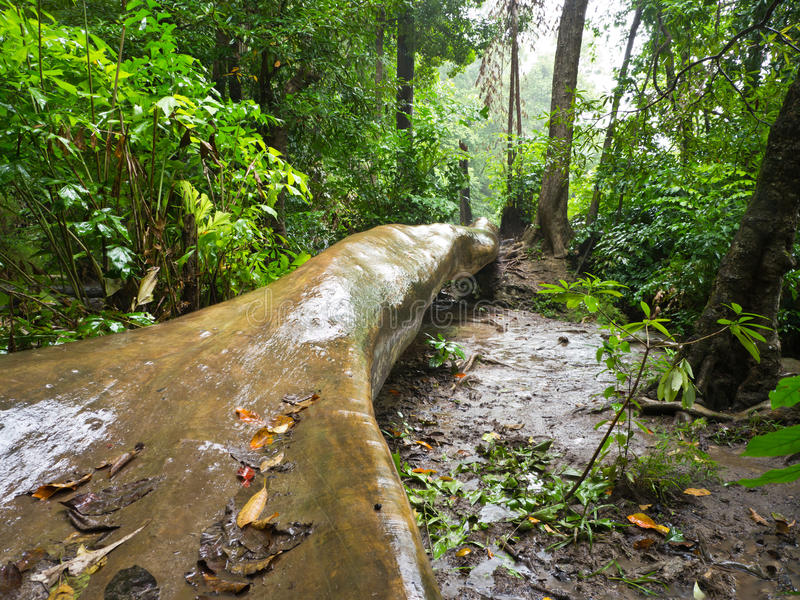 Download Rain forest stock image. Image of forest, shower, wild - 26267145