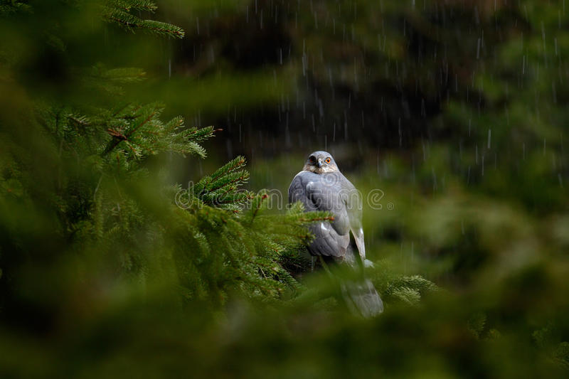 Rain in the forest with bird. Birds of prey Eurasian sparrowhawk, Accipiter nisus, sitting on spruce tree during heavy rain in the royalty free stock photo