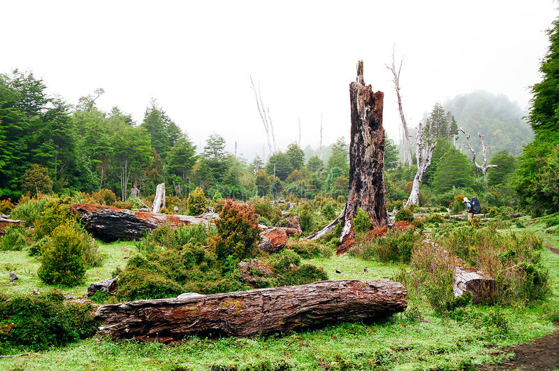 Rain Forest, Chile stock photos