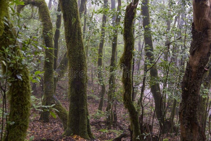 Rain forest at Garajonay park. La Gomera, Canary Islands. Spain royalty free stock image