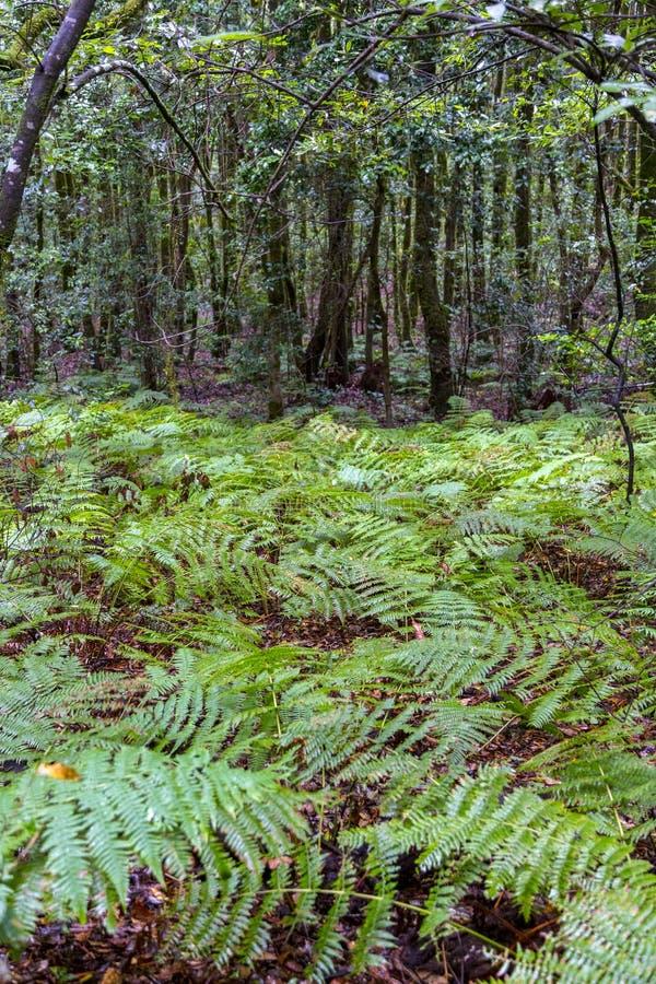 Rain forest at Garajonay park. La Gomera, Canary Islands. Spain stock photography