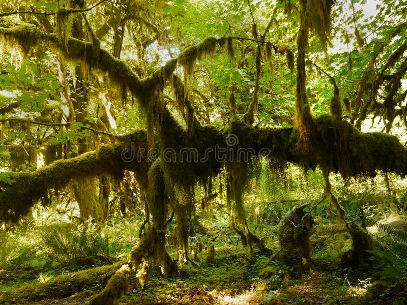 Rainforest, Olympic National Park, Washington. Rainforest and plants - Hall of Mosses at sunset. The Hoh Rainforest, Olympic National Park. Washington, U.S royalty free stock image
