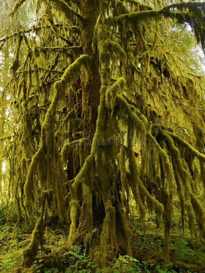 Rainforest, Olympic National Park, Washington. Rainforest and plants - Hall of Mosses. The Hoh Rainforest, Olympic National Park. Washington, U.S royalty free stock images