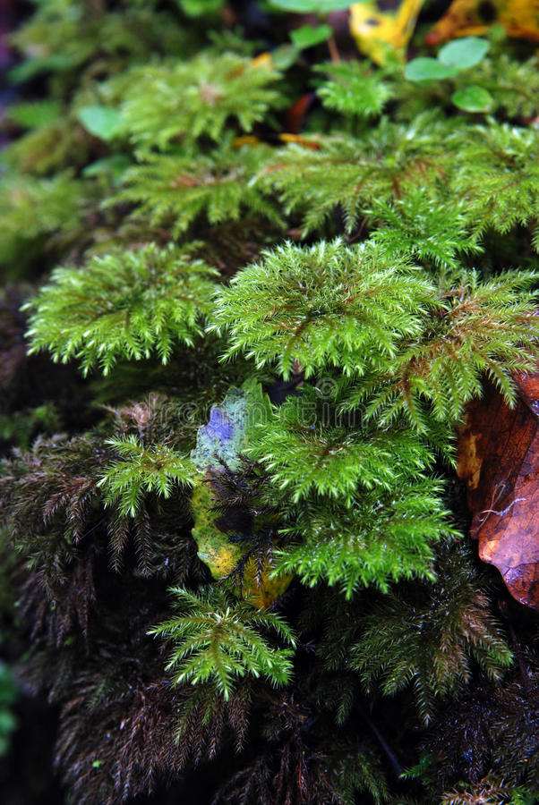 Rain Forest Moss Stock Photography