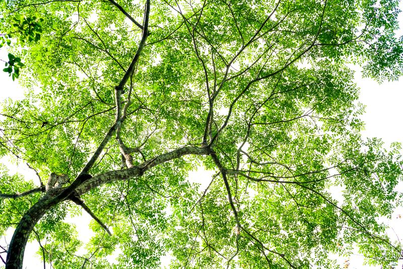 Rain forest tree. Rain forest green tree from the ground up view, green backgound royalty free stock photo