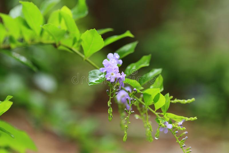 After rain garden. Small purple flowers on green branch with water drop.  stock images
