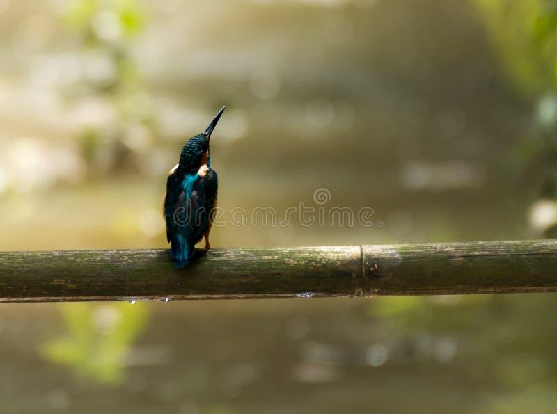 Common Kingfisher on a bumboo. stock image