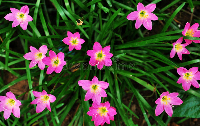 rain lilies stock photo