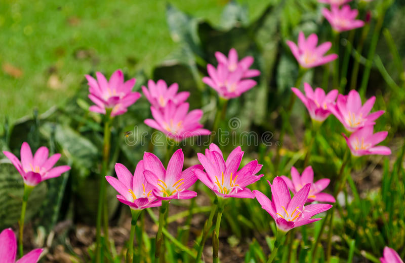 Download Rain Lily blooming stock photo. Image of petal, macro - 25150266
