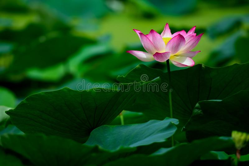 After the rain of the lotus royalty free stock images