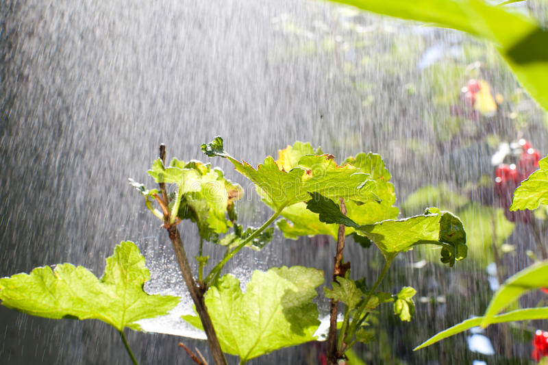 Download Rain over the bush stock photo. Image of outdoors, freshness - 29787800
