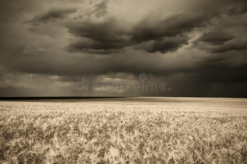 Rain over wheat field in retro style royalty free stock photo