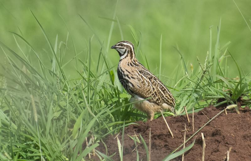 Rain Quail in the Grassland during Monsoon. Rain Quail Male perching on mud pile during breeding season in Monsoon royalty free stock image