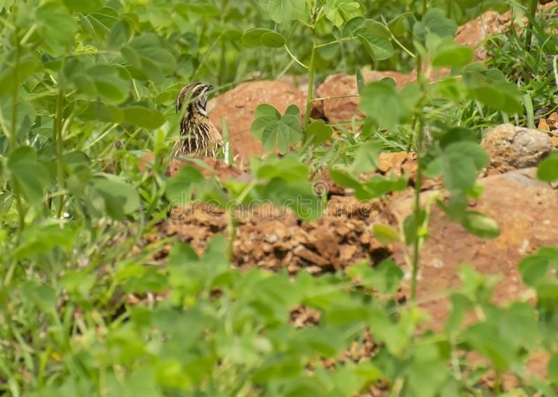Rain Quail Hiding in Green Foliage royalty-vrije stock afbeelding