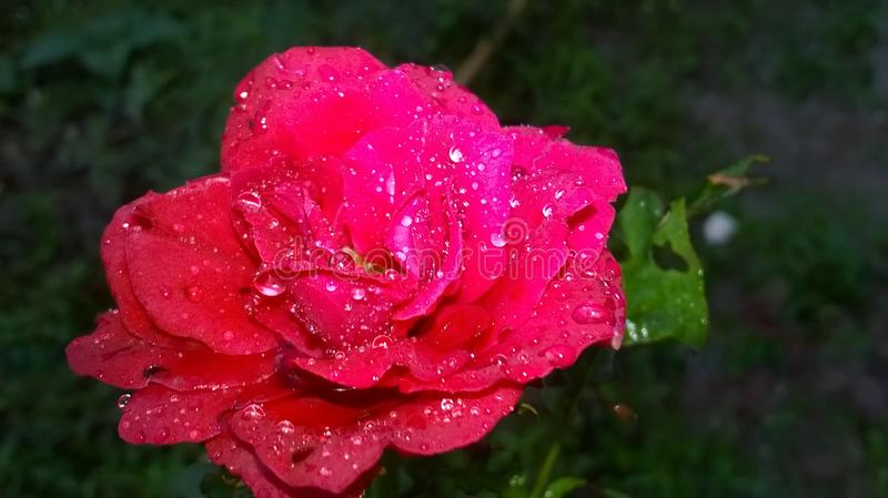 After rain red rose with drops of water royalty free stock photography
