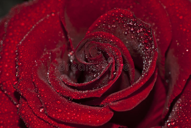 Rain on Rose. Photo roses which is embodied in the morning dew royalty free stock images