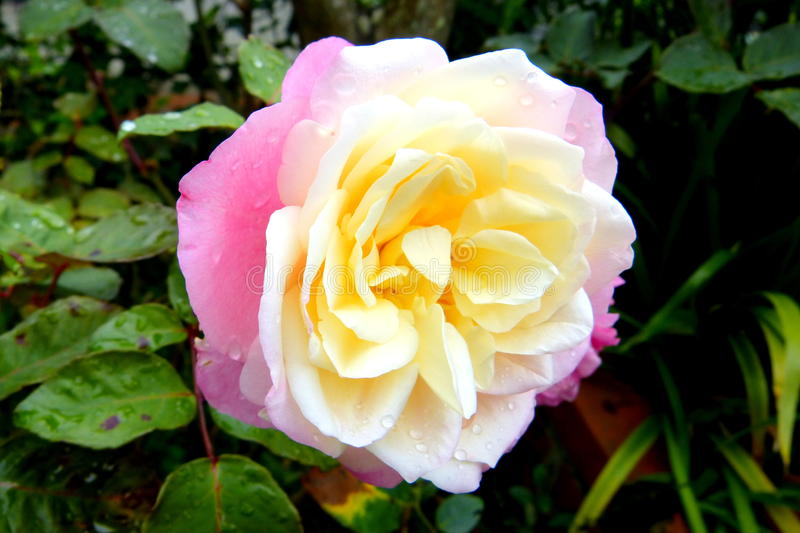 After the rain. A rose in the National Park in Venezuela, Tachira State royalty free stock photo