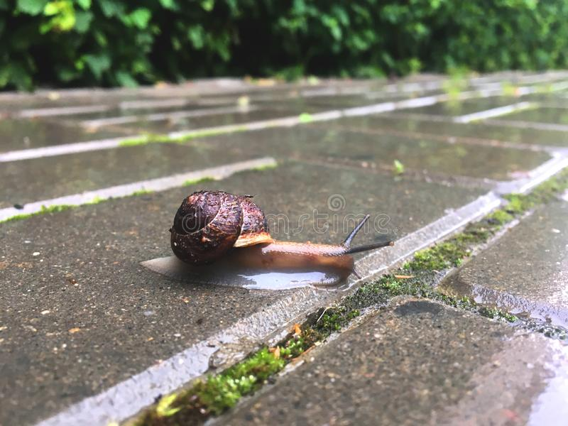 Rain snail closeup on alphalt footpath in spring park. With trees and moss royalty free stock photo