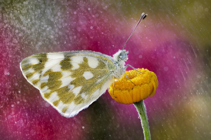 The butterfly in the rain. The rain-soaked butterfly rests on the flower with its colored background