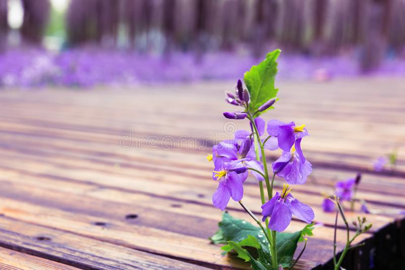 Blooming purple flowers next to the wooden trestle, with drops of water. After the rain, there are purple flowers beside the wooden trestle in the park, and the stock photography